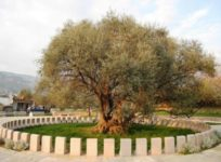 Meetings under the Old olive tree